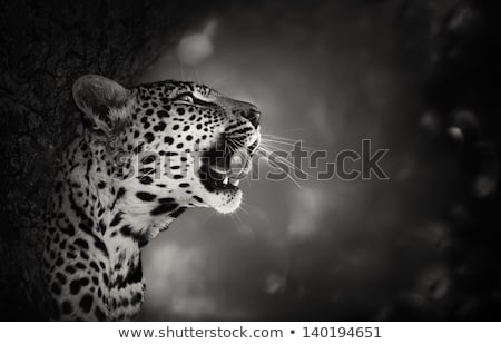 Leopard in a tree in black and white in the Kruger National Park, South Africa. Stock photo © simoneeman