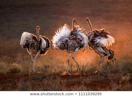 ダチョウ 日没 美しい 平野 ボツワナ アフリカ ストックフォト © THP