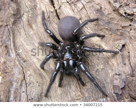 Sydney funnel-web spider Stock photo © bluering