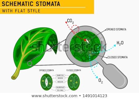 Stock fotó: Levél · anatómia · illusztráció · fehér · tudomány · grafikus