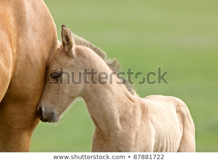 Horse and Colt in Pasture Saskatchewan Canada Stock photo © pictureguy