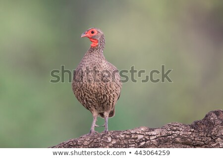 Stock photo: Swainson's Francolin