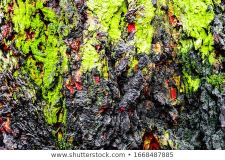 Zdjęcia stock: Oak Bark Crust Surface With Moss