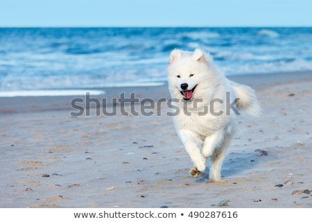 Happy samoyed dog running  Stock photo © raywoo