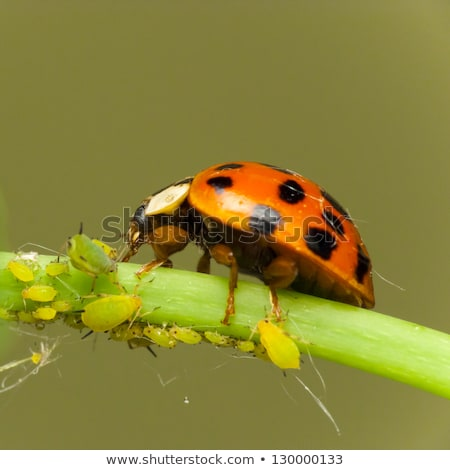 coccinella · attaccare · verde · insetto · bug - foto d'archivio © Kidza