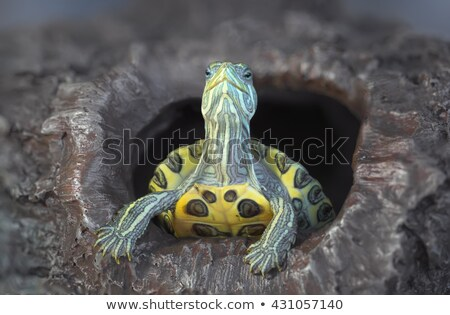 turtle with red eyes on rocks stock photo © 2tun
