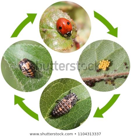 Mariquita vida ciclo ilustración diseno hoja Foto stock © bluering
