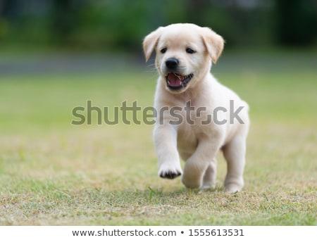 Puppy labrador retriever witte hond jonge huisdier Stockfoto © cynoclub