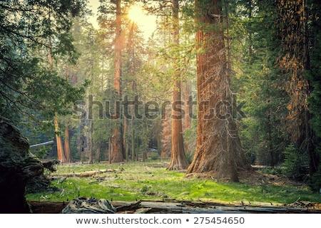 çam · ağaçlar · bahar · orman · grup · yeşil - stok fotoğraf © anna_om
