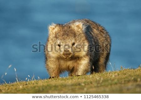 A wombat Stock photo © colematt