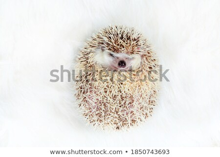 adorable african dwarf hedgehog resting on back Stock photo © feedough