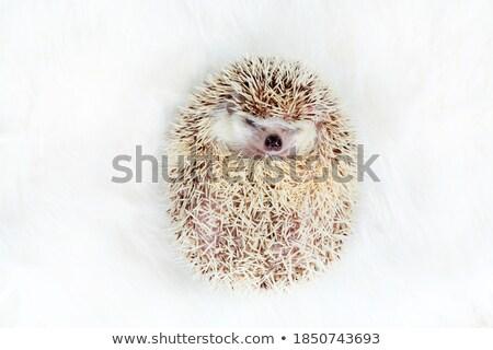Imádnivaló afrikai törpe sündisznó pihen hát Stock fotó © feedough