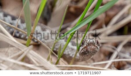 Agresszív európai portré kígyó állat veszély Stock fotó © taviphoto