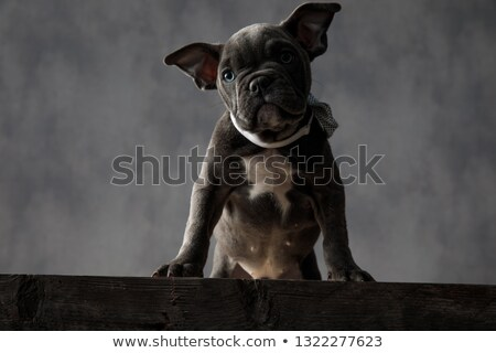 ストックフォト: 愛らしい · 子犬 · 立って · 先頭 · 木製 · ボックス