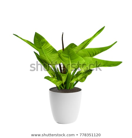 A green plant in pot Stock photo © bluering
