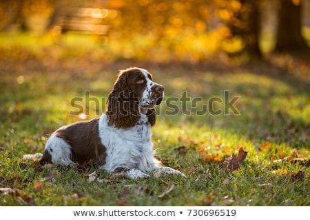 愛らしい 英語 立って 白 犬 ストックフォト © vauvau