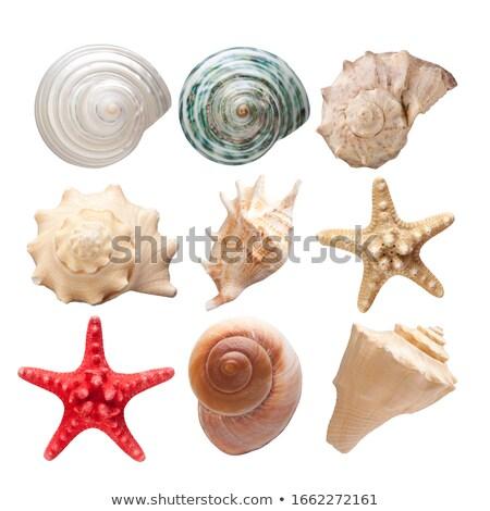 Starfish and Seashell, Conch Closeup Mollusk Set Stock photo © robuart