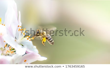 Bee flying to a pink flower blossom Stock photo © manfredxy