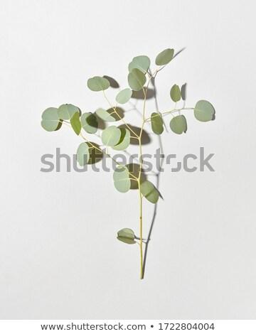 Evergreen fresche ramo naturale impianto ombre Foto d'archivio © artjazz