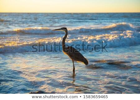 great blue heron on a gulf coast beach stock photo © brianguest