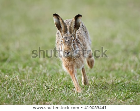 running hare in the wild stock photo © anna_om
