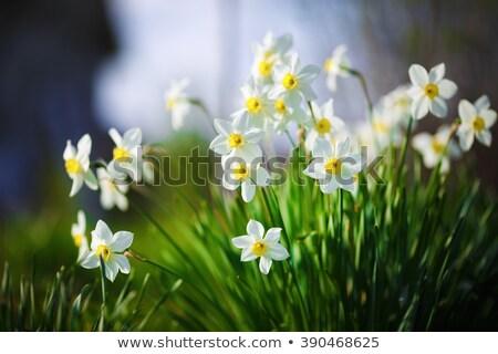 Bunch of white spring narcissus Stock photo © zhekos
