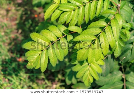 fresh spring leaves of mountain ash tree stock photo © julietphotography