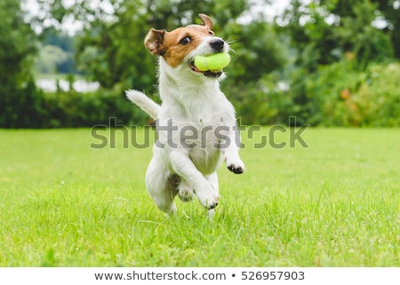 Stock photo: Dog playing ball - Toy terrier dog