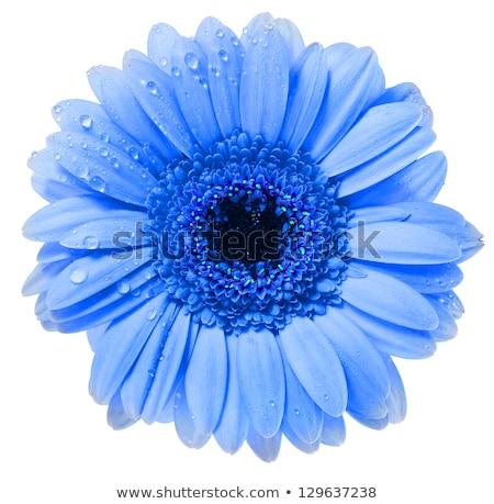 Сток-фото: красочный · цветы · голову · роса · изолированный · белый