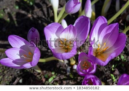 najaar · krokus · bloem · natuur · groene · plant - stockfoto © lianem