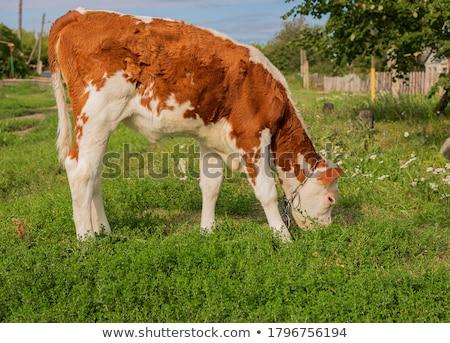 Beige koeien vee eten groene weide Stockfoto © lunamarina
