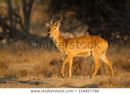 Homme · animaux · africaine · corne · Congo · Namibie - photo stock © TanArt