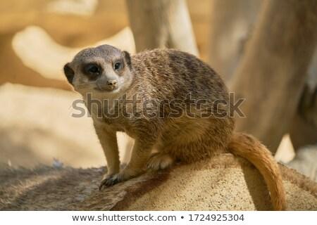 Stock fotó: Kíváncsi · pózol · sötét · állat · körmök · szőr