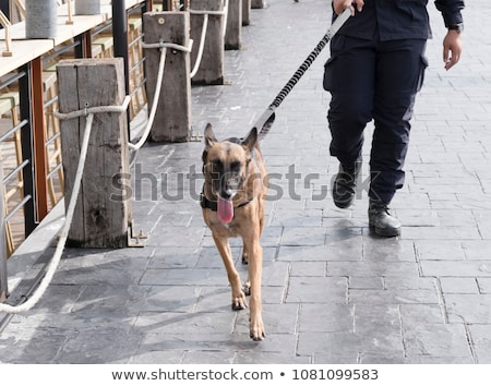 Working dog sniffing out drugs or explosives Stock photo © lovleah