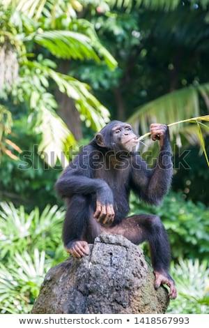 şempanze oturma taşlar doğa yaz gün Stok fotoğraf © OleksandrO