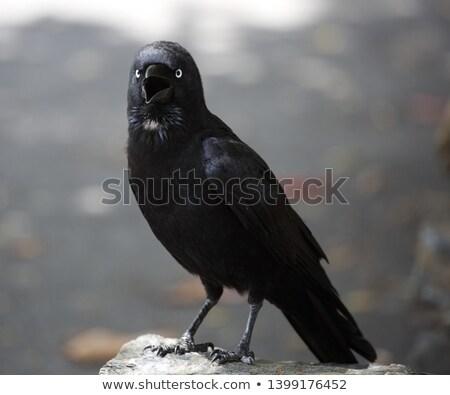 Kuzgun kuş doğa yaz gün Stok fotoğraf © OleksandrO