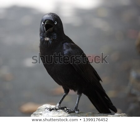 Stock foto: Wild Raven Bird Nature