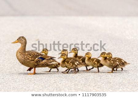 aranyos · kacsa · család · tavacska · húsvét · fű - stock fotó © kimmit