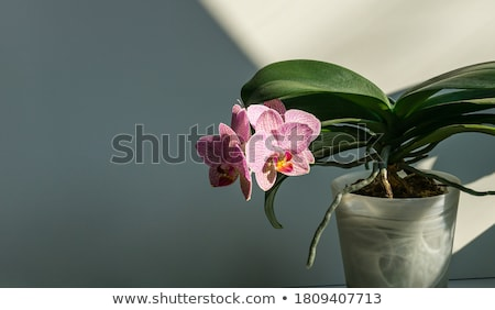 Pembe orkide gri doğa stüdyo Stok fotoğraf © wime