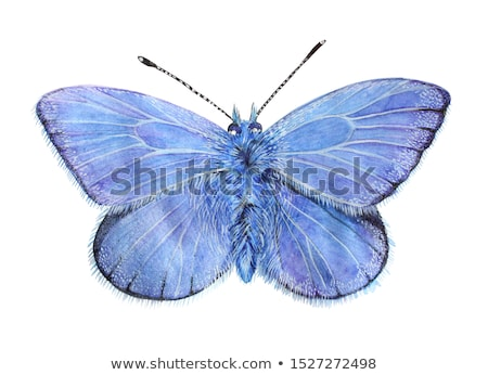 Butterfly Polyommatus Icarus Stock photo © mady70