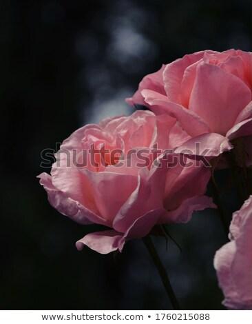 Сток-фото: букет · темно · розовый · роз · изолированный