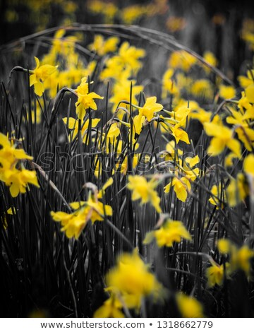 нарциссов · рано · весны · травой · поле · цветок · зеленый - Сток-фото © hpbfotos