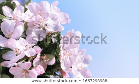 Apple blossoms against a soft focus background Stock photo © Sandralise