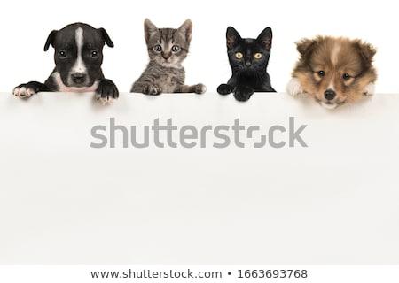 Stok fotoğraf: Two Sheltie Dogs
