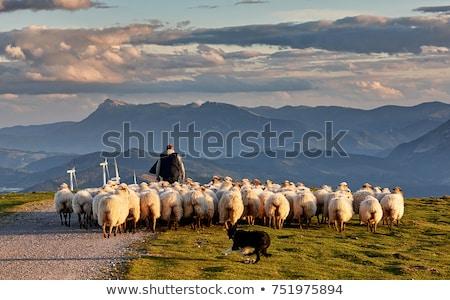 shepherd dog and flock of sheep Stock photo © drobacphoto