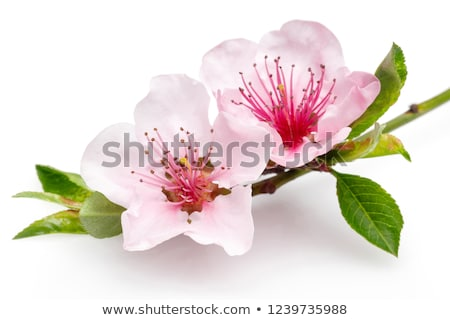 almonds with flower stock photo © dionisvera