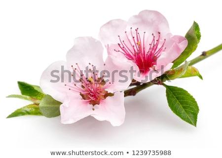 Mandeln Blume Holz Platte Essen Obst Stock foto © Dionisvera