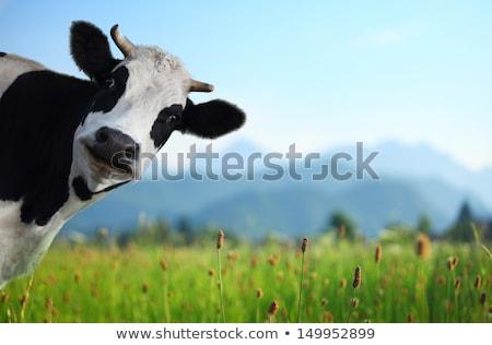 Foto d'archivio: Mucca · campo · primo · piano · natura · agricoltura · bovini