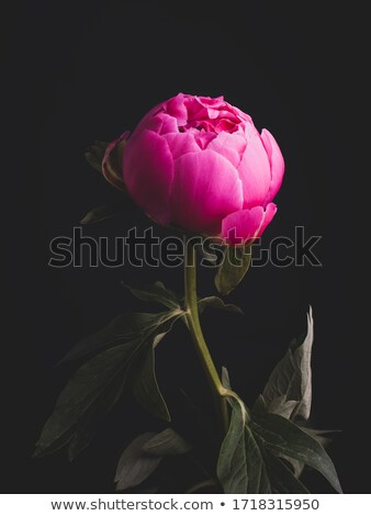 Luxurious dark pink peony with buds and leaves stock photo © Natalia_1947
