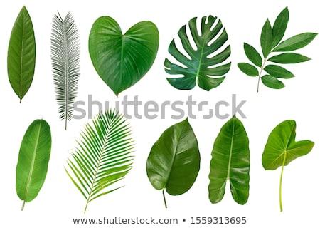 tropic leaves composition stock photo © purplebird